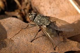 bestrijding klustervliegen
